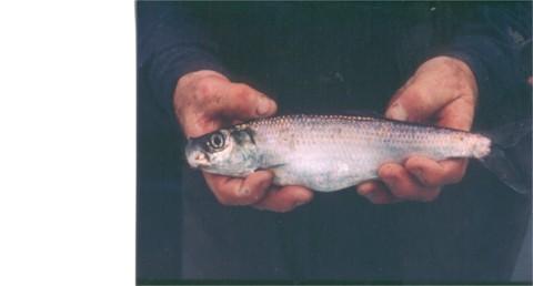 Bill & herring