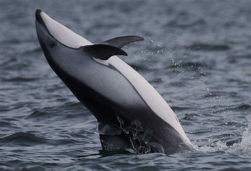 Dolphin backflip