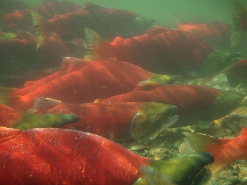 Adams Sockeye Oct 3