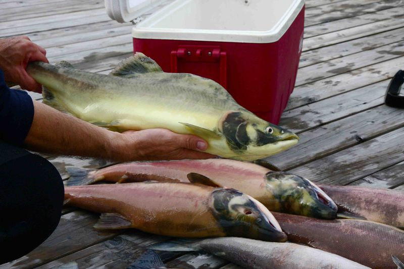 UPDATE - Alexandra Morton on yellow salmon - DFO on IHN Virus