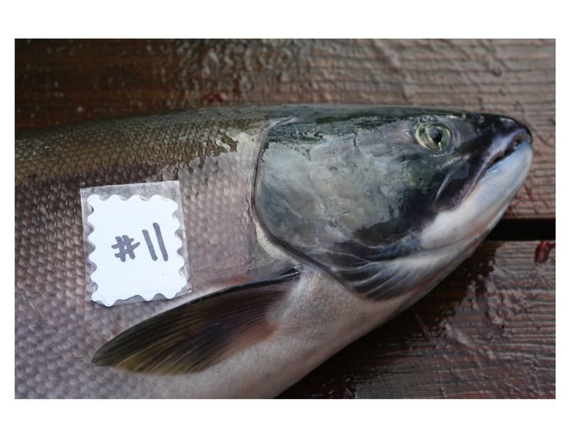 Fish#11reduced