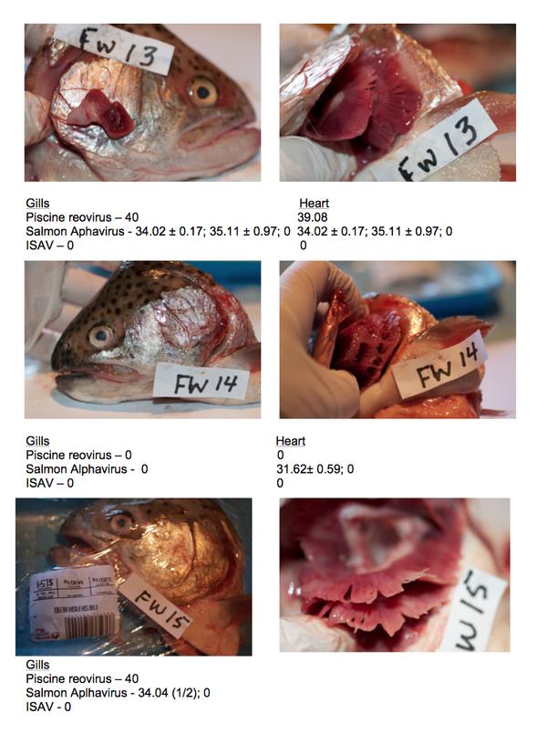 First detection of salmon alphavirus in bc farmed for Piscine reovirus