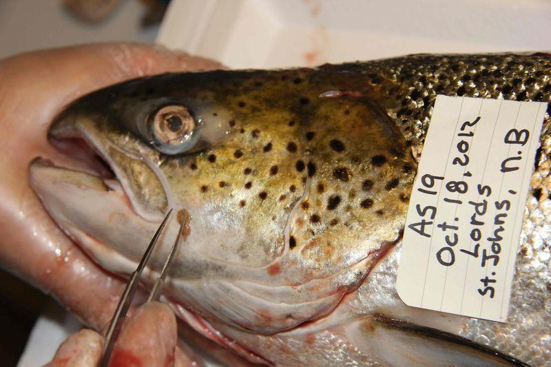 Lord's fish head