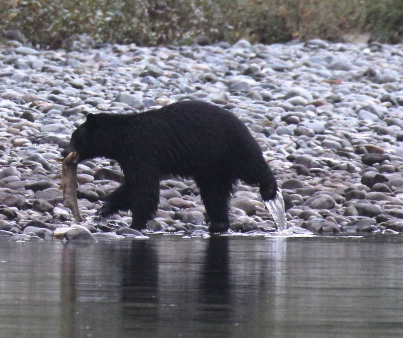 Bear salmon river