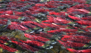 Big sockeye school sm