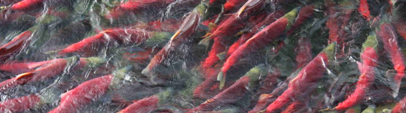 River of sockeye
