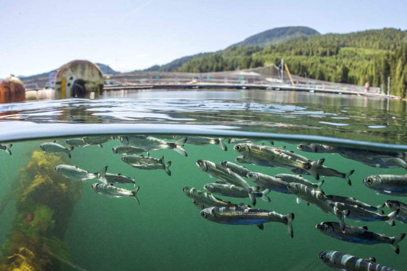 Sockeye salmon swim past salmon farms Tavish Campbell