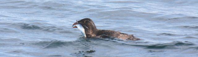 Auklet herring