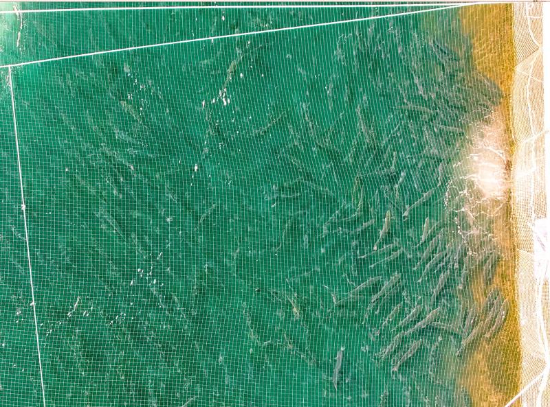 Drone farm salmon