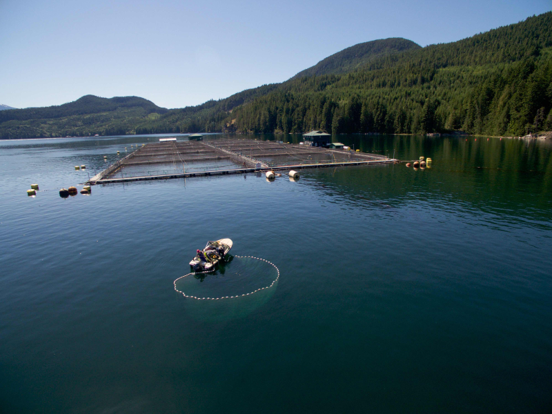 Hand purse-seining for juvenile wild salmon near salmon farm Photo by Tavish Campbell