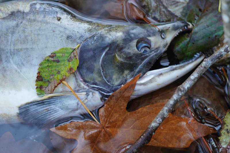 Pink salmon and leaves